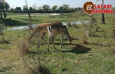 Safari Ravenna - cervo