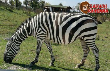 Safari Ravenna - zebra