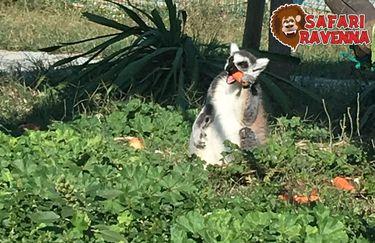 Safari Ravenna - lemure