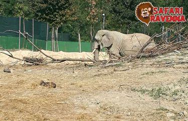 Safari Ravenna - elefante