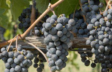 Campodelsole uva