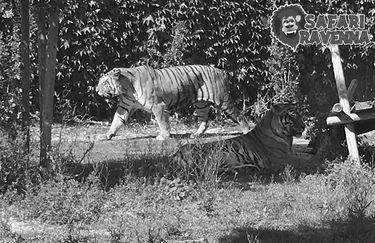 Safari Ravenna - tigri